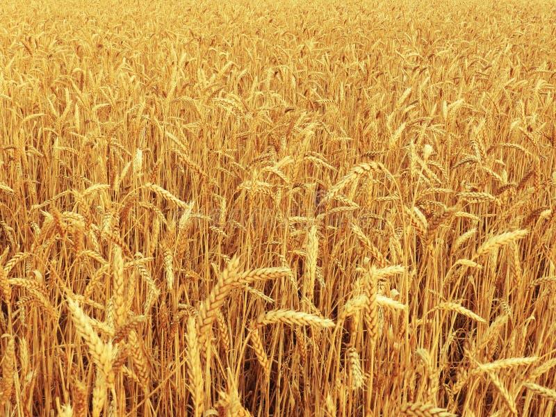 Campo delle orecchie mature dorate di grano Un raccolto ricco dei cereali immagini stock