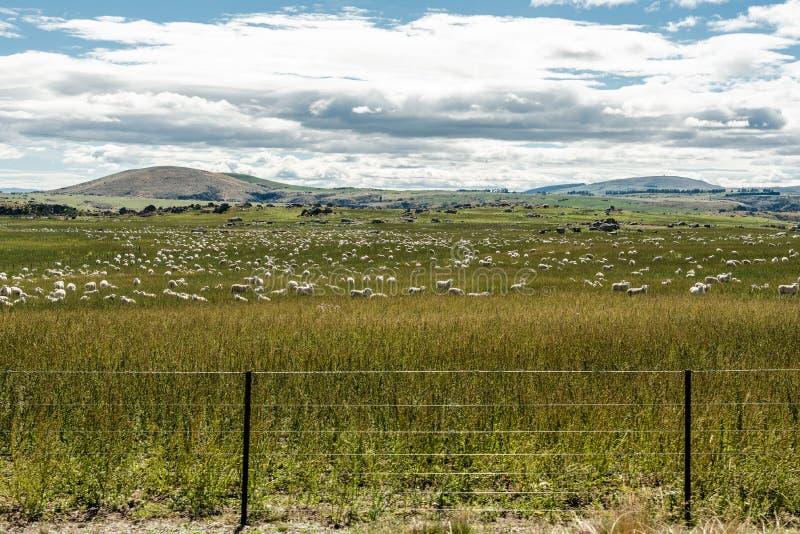 Campo delle pecore in Nuova Zelanda fotografia stock libera da diritti