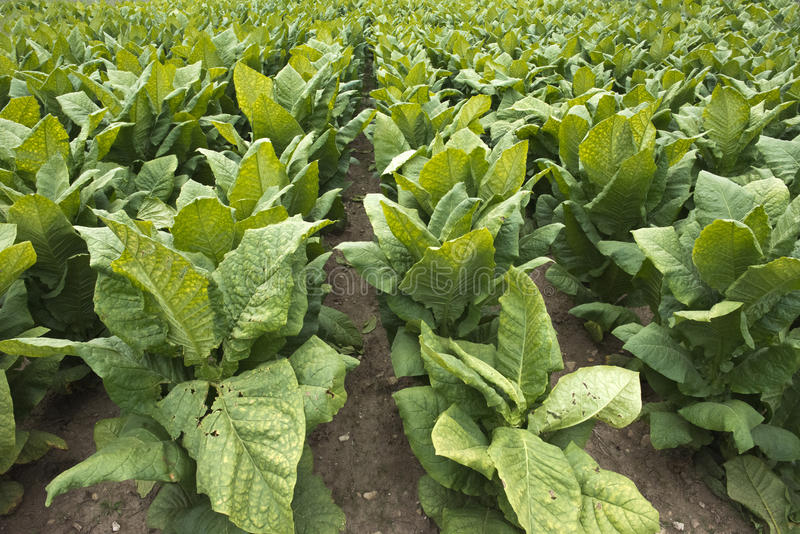 Campo delle piante di tabacco nel campo dell'azienda agricola, il raccolto di contanti immagini stock
