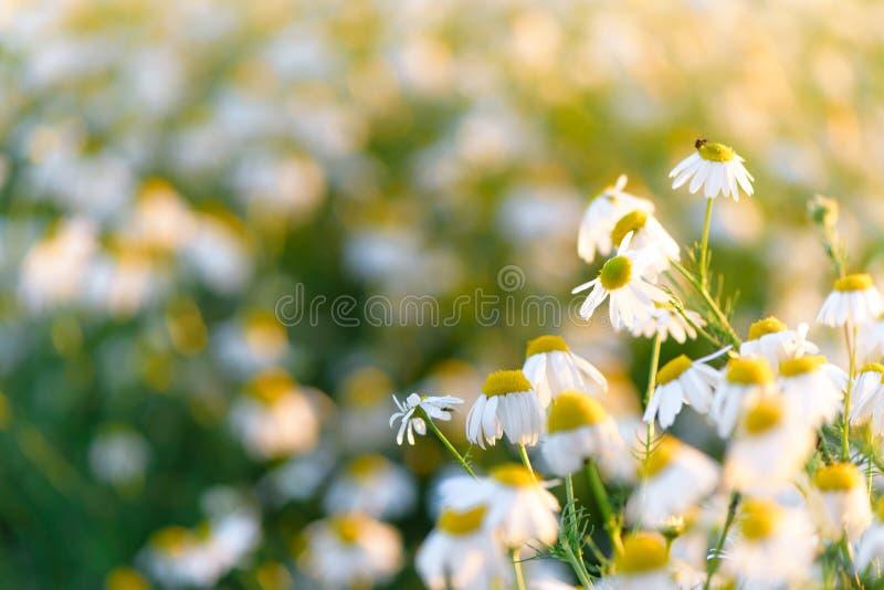 Campo dello sfondo naturale di estate delle camomille Prato vago del wildflower del bokeh, immagini stock