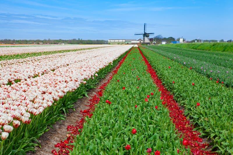 Campo desvanecido da tulipa com moinho de vento velho fotos de stock royalty free