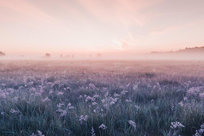 Campo di alba dei fiori rosa di fioritura del prato fotografie stock libere da diritti