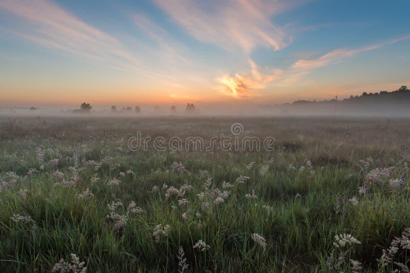 Campo di alba dei fiori verdi di fioritura del prato immagini stock libere da diritti