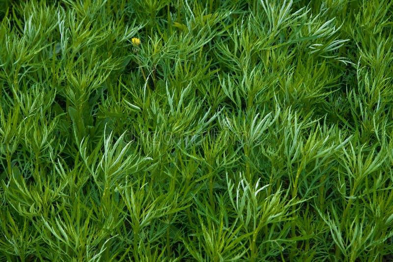 Campo di alta erba verde di un assenzio romano immagine stock libera da diritti
