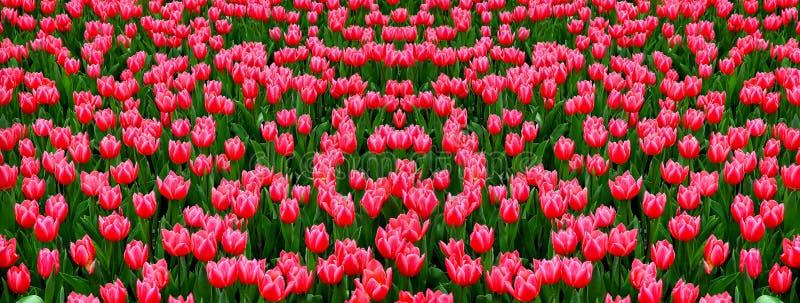 campo di bei tulipani dentellare fotografie stock