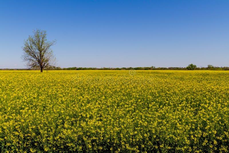 Campo di bello Canola di fioritura giallo luminoso fotografia stock libera da diritti
