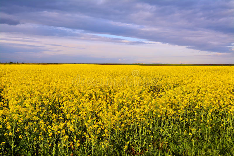 Download Campo di Canola immagine stock. Immagine di nave, nubi - 56885535