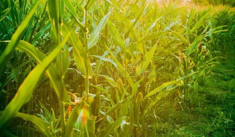 Campo di cereale al crepuscolo fotografia stock