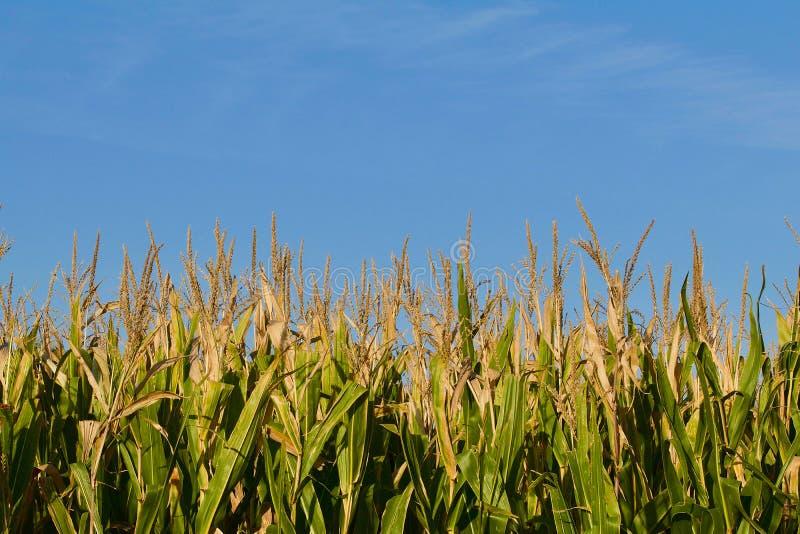 Campo di cereale che mostra le nappe fotografia stock