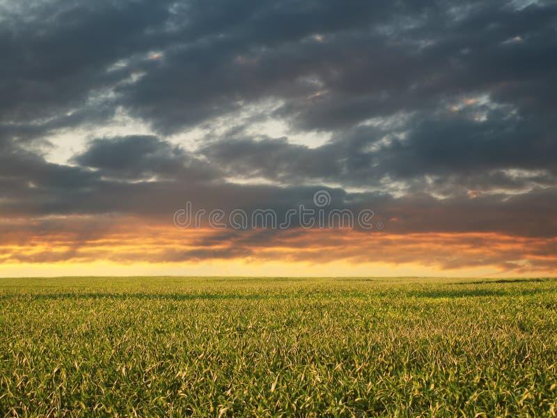 Campo di cereale di mattina fotografie stock libere da diritti
