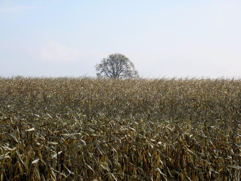 Campo di cereale dopo il raccolto con foto le chiare delle cielo-azione fotografia stock libera da diritti