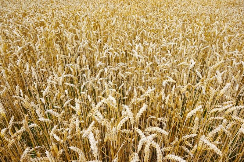 Campo di cereale dorato fotografia stock libera da diritti
