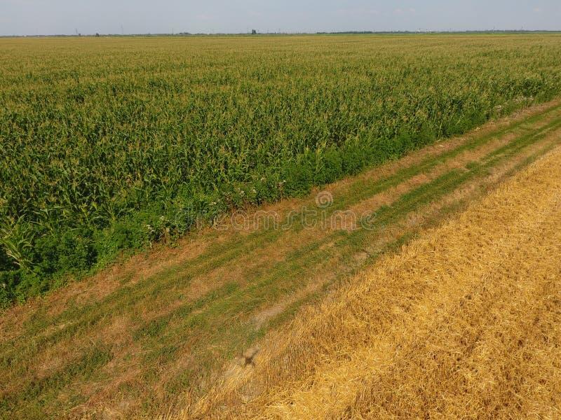 Campo di cereale e della parte del campo di grano pendente Fioriture del cereale verde sul campo Periodo di crescita e di maturaz fotografie stock libere da diritti