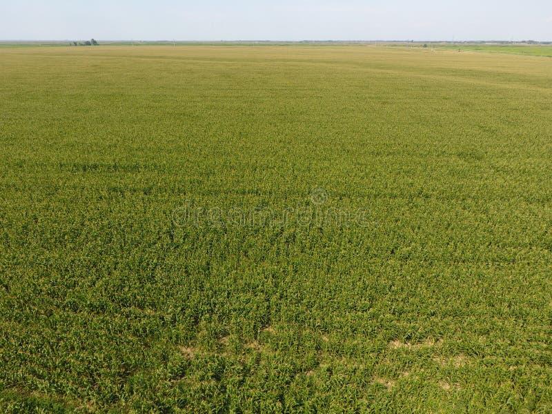 Campo di cereale Fioriture del cereale verde sul campo Periodo di crescita e di maturazione delle pannocchie di granturco fotografie stock libere da diritti