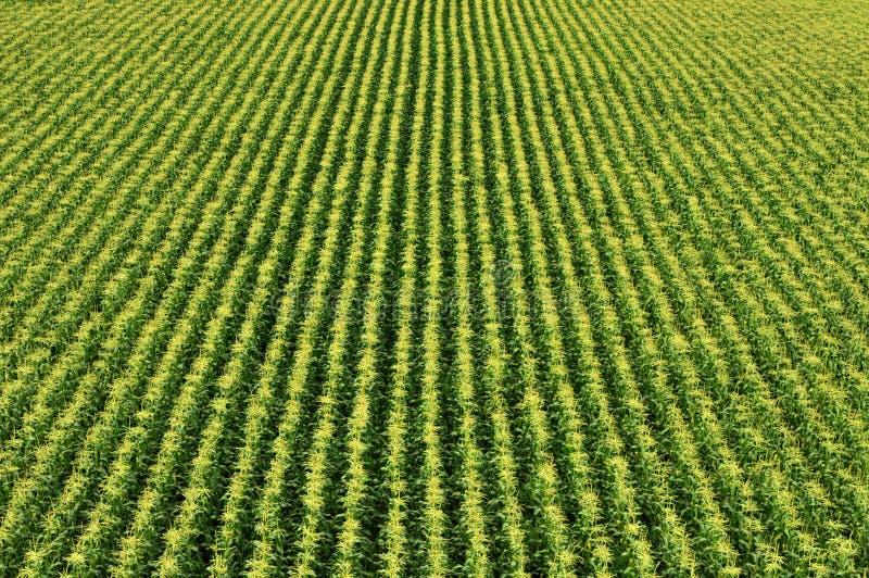 Campo di cereale/giacimento del granoturco dolce fotografia stock libera da diritti