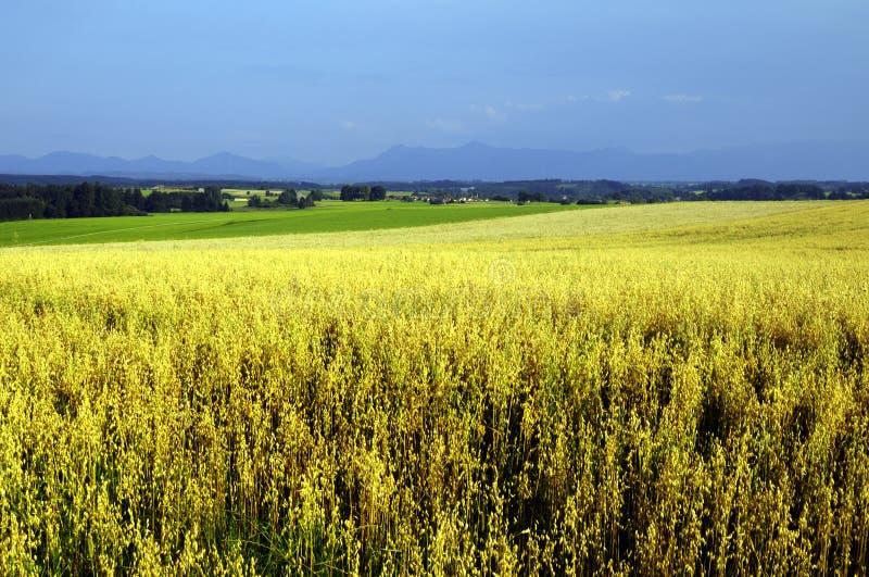 Campo di cereale giallo fotografia stock