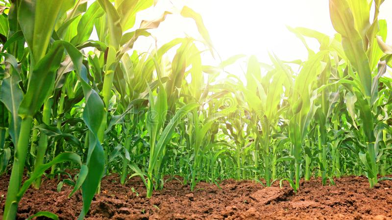Campo di cereale verde fotografie stock