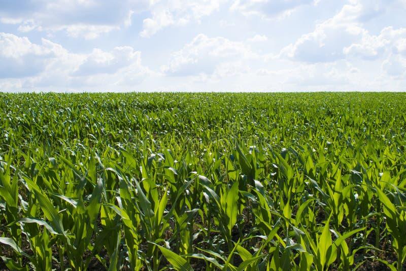 Campo di cereale verde immagini stock