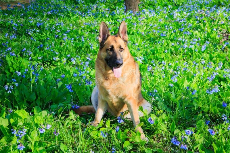 Campo di Dog Bluebell Wildflower del pastore tedesco immagini stock