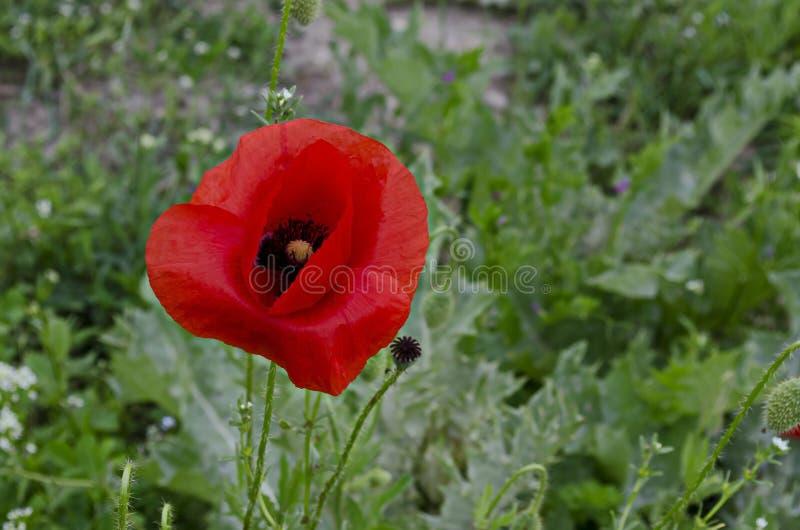 Campo di erba fresco con il fiore ed il germoglio del papavero o del wildflower rosso del papavero in città Razgrad fotografia stock