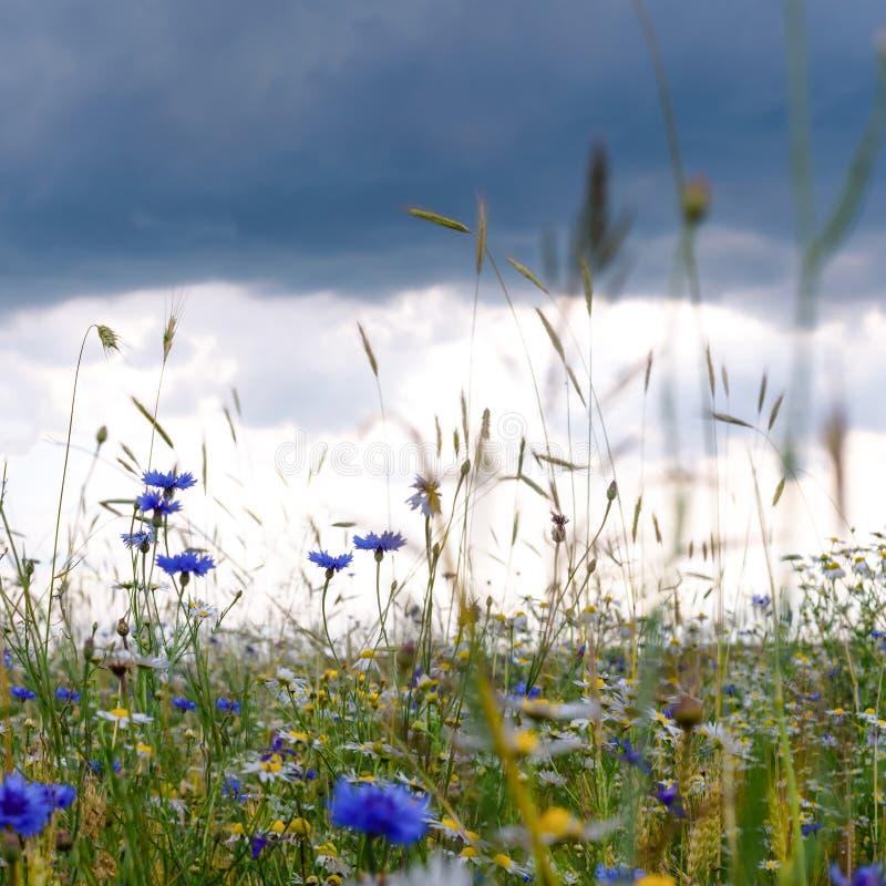 Campo di estate, paesaggio di estate, fiordalisi e camomille floweRussian, orecchie di grano, cielo triste con le nuvole fotografie stock
