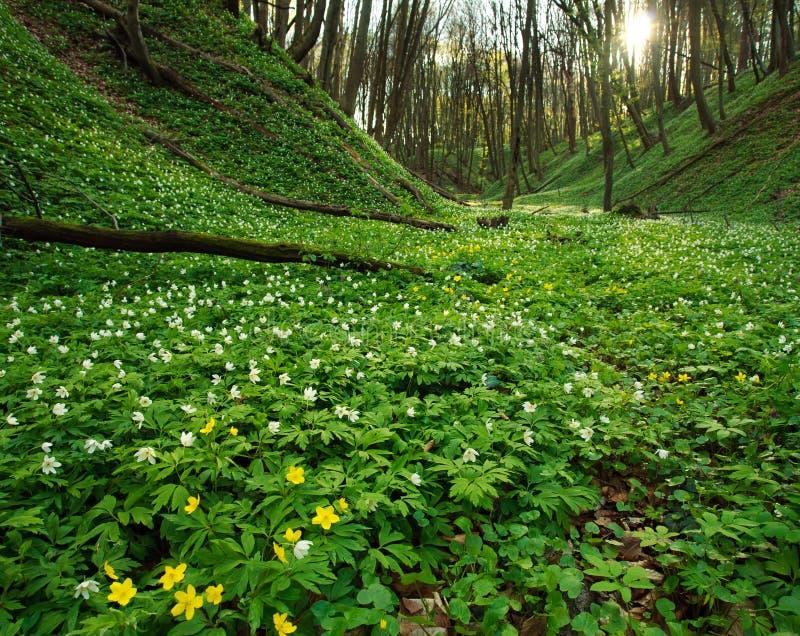 Campo di fioritura dei fiori nella foresta verde della molla immagini stock libere da diritti