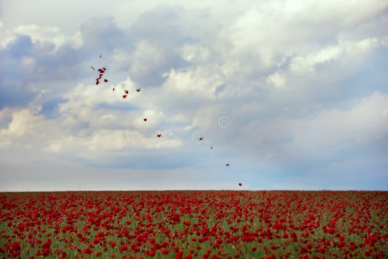 Campo di fioritura dei fiori rossi e dei petali dei papaveri che volano nell'aria fotografia stock