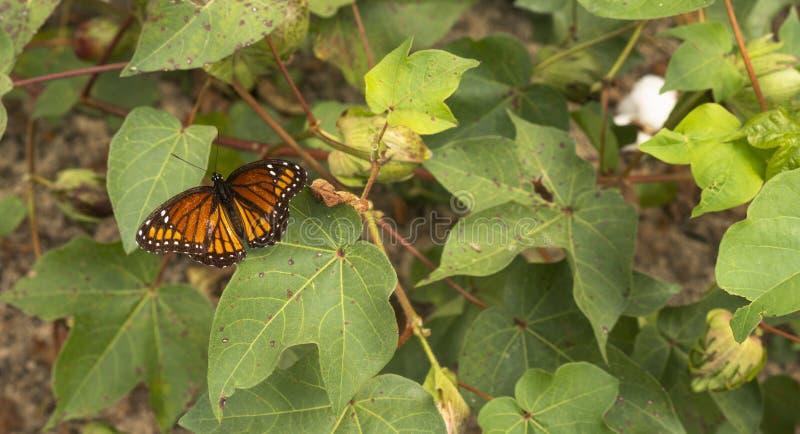 Campo di fioritura del cotone di visite della farfalla di monarca fotografie stock