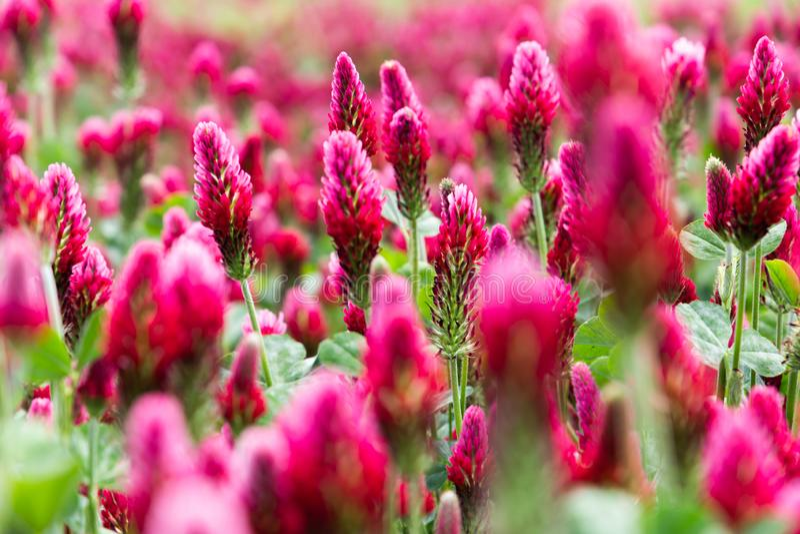 Campo di fioritura del paesaggio rurale di trifolium incarnatum dei trifogli incarnati fotografia stock