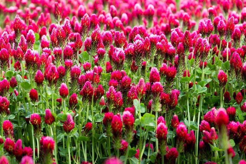 Campo di fioritura del paesaggio rurale di trifolium incarnatum dei trifogli incarnati immagine stock