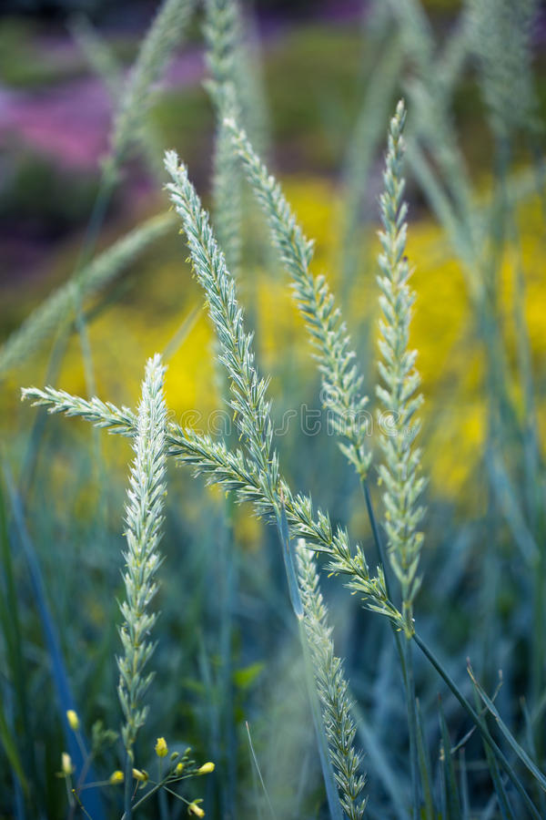 Campo di fioritura di estate immagini stock libere da diritti