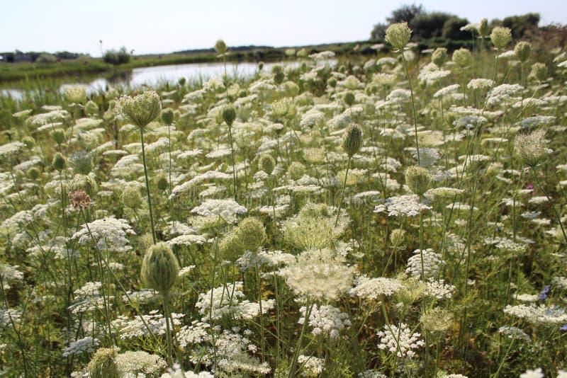 Campo di fioritura Fiori bianchi Gli ombrelli hanno fiorito l'umore dell'estate immagini stock