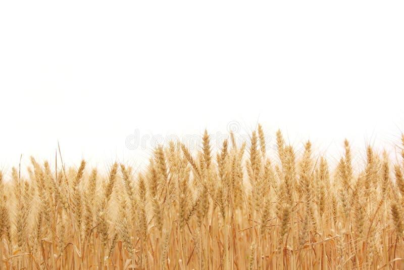 Campo di frumento immagini stock libere da diritti