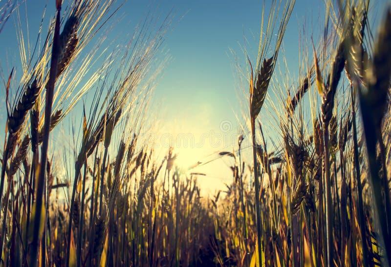 Campo di frumento al tramonto Bello paesaggio uguagliante con le spighette Spighette del primo piano del grano Vista da sotto fotografia stock