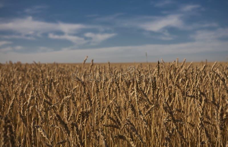 Campo di frumento in Alberta fotografia stock libera da diritti