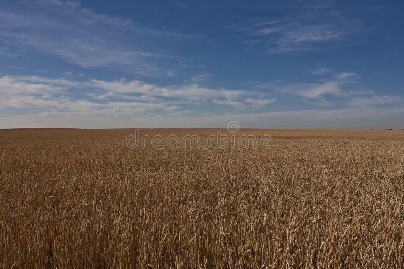 Campo di frumento Alberta - nel Canada fotografie stock