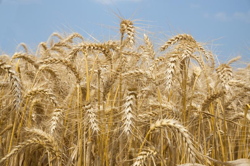 Campo di frumento dorato fotografia stock libera da diritti