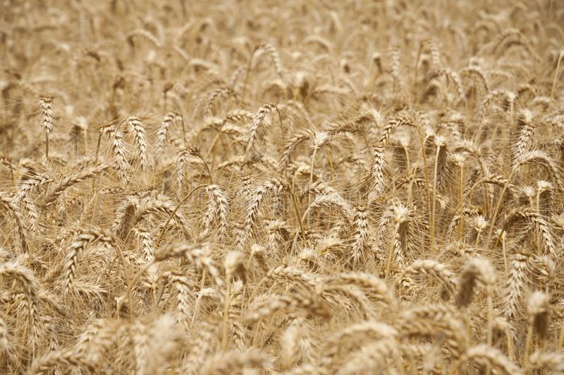 Campo di frumento dorato immagine stock