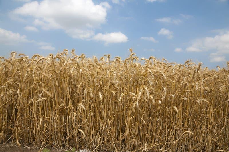 Campo di frumento dorato fotografia stock