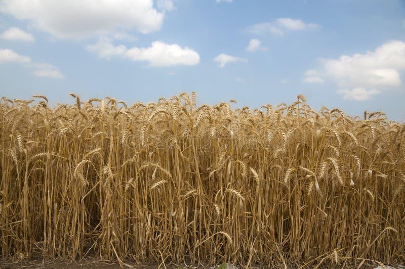 Campo di frumento dorato immagine stock libera da diritti