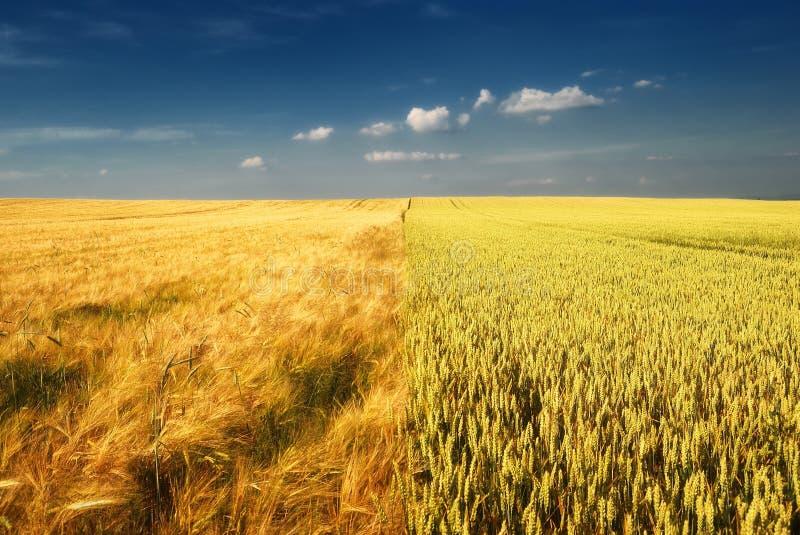 Campo di frumento dorato e cielo nuvoloso immagine stock libera da diritti