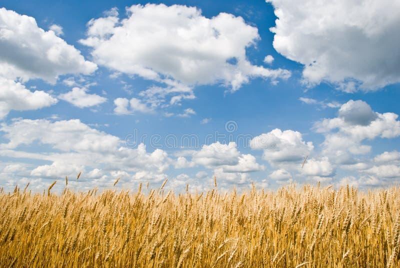 Campo di frumento e cielo blu nuvoloso immagine stock