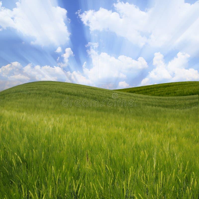 Campo di frumento ondulato verde fotografie stock libere da diritti