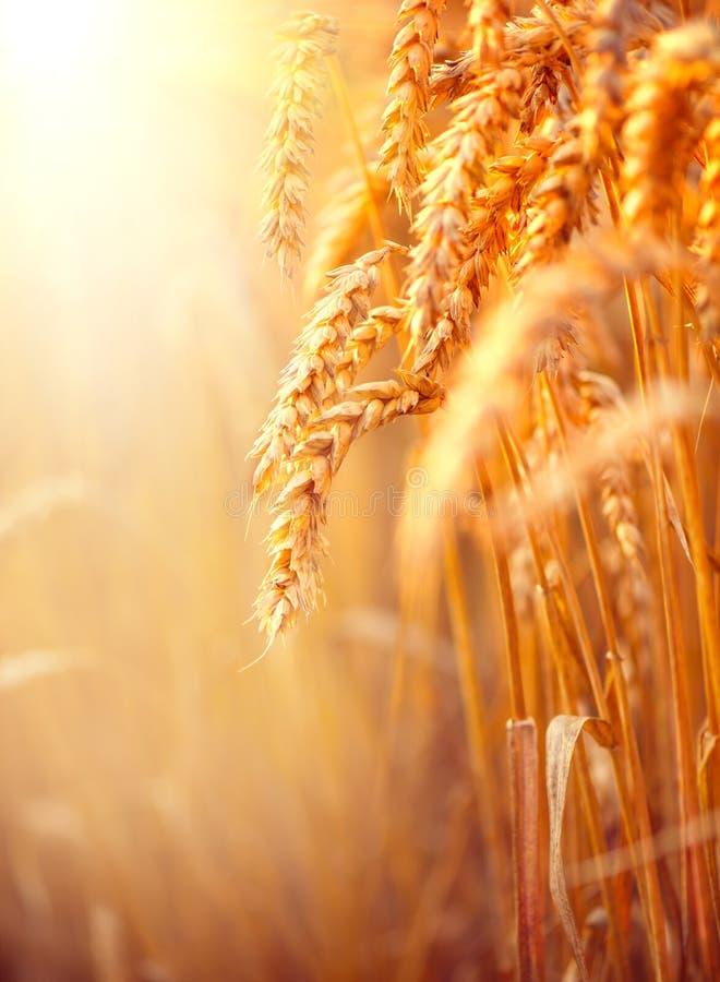 Campo di frumento Orecchie del primo piano dorato del grano fotografia stock libera da diritti