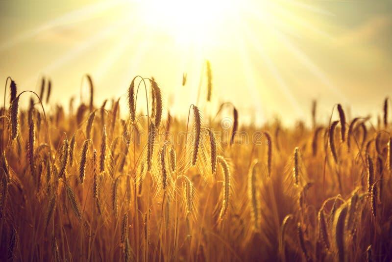 Campo di frumento Orecchie del primo piano dorato del grano fotografie stock libere da diritti