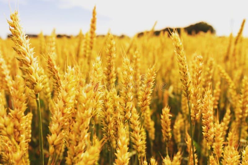Campo di frumento Orecchie della fine dorata del grano su Bello paesaggio di tramonto della natura Paesaggio rurale nell'ambito d fotografia stock libera da diritti
