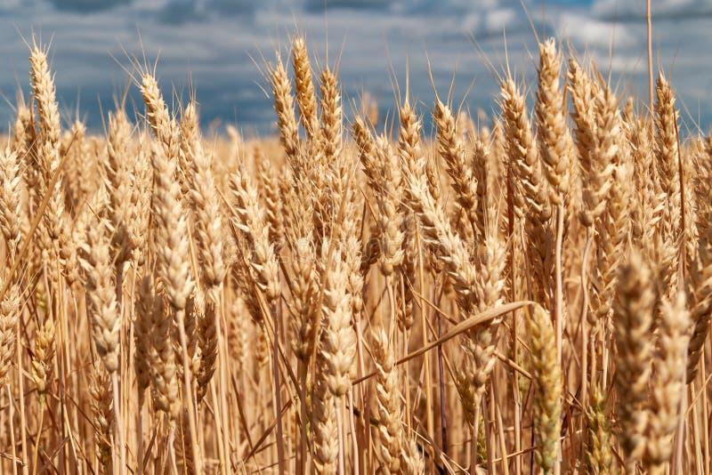 Campo di frumento Orecchie della fine dorata del grano su Bello paesaggio di tramonto della natura fotografie stock