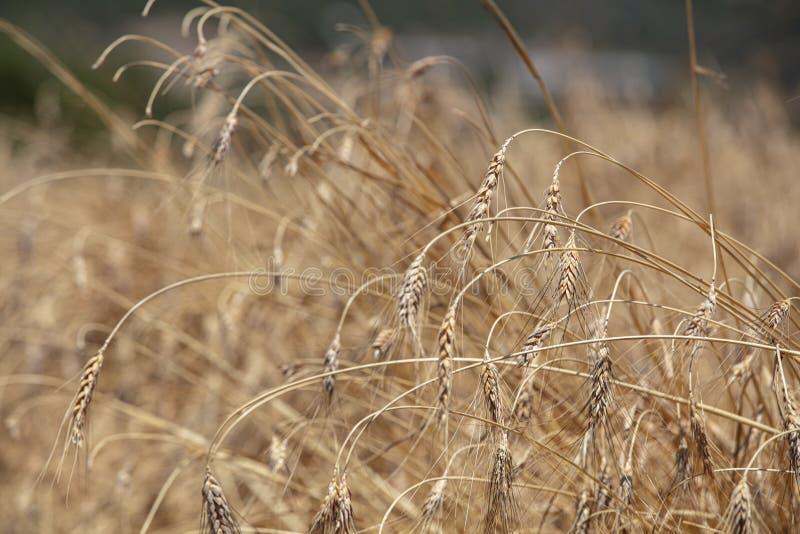 Campo di frumento Orecchie della fine dorata del grano su Bello paesaggio di tramonto della natura Paesaggio rurale nell'ambito d immagine stock