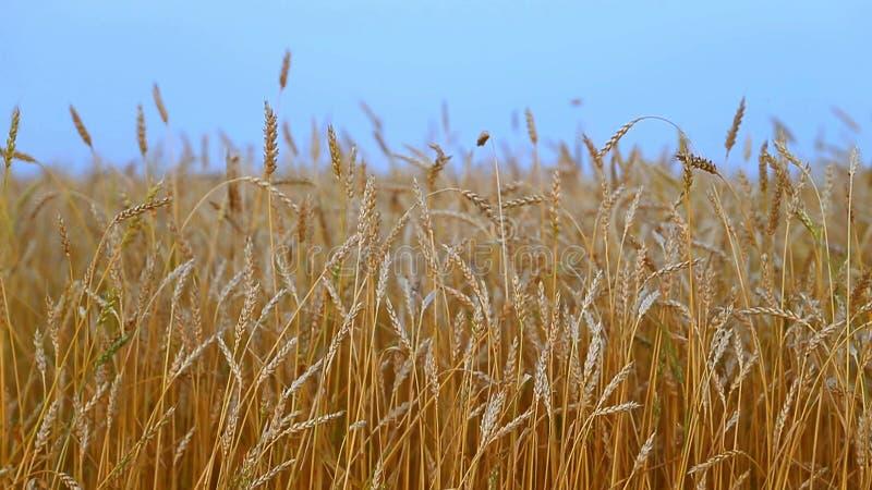 Campo di frumento Orecchie della fine dorata del grano su Bello paesaggio di tramonto della natura Paesaggio rurale nell'ambito d fotografia stock
