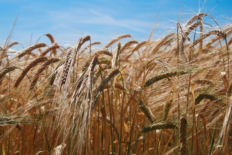 Campo di frumento Orecchie della fine dorata del grano su Concetto ricco del raccolto Struttura e fondo fotografia stock libera da diritti